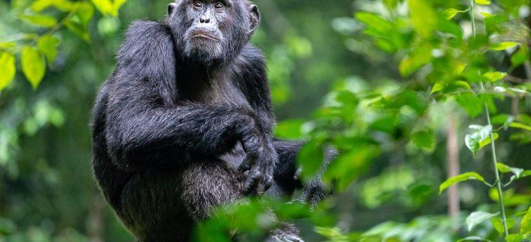 Male chimpanzee in Kibale forest, Uganda