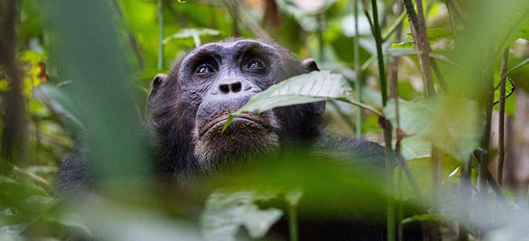 Chimpanzee-Trekking-Tanzania