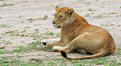 Serengeti Flying in Safari
