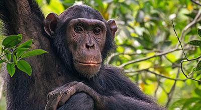 uganda-Chimpanzee-Safaris
