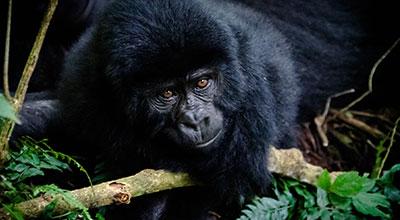 Bwindi-Gorilla-Uganda-Safaris
